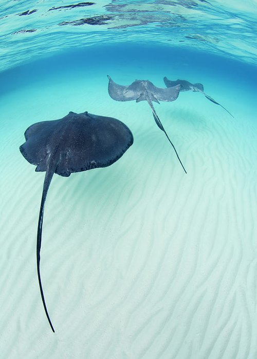 Underwater Greeting Card featuring the photograph Southern Stingray Cayman Isalnds by Justin Lewis