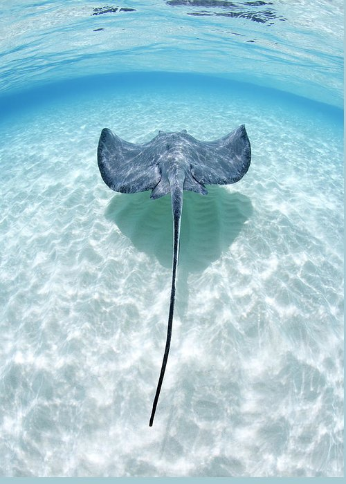 Underwater Greeting Card featuring the photograph Southern Stingray Cayman Islands by Justin Lewis