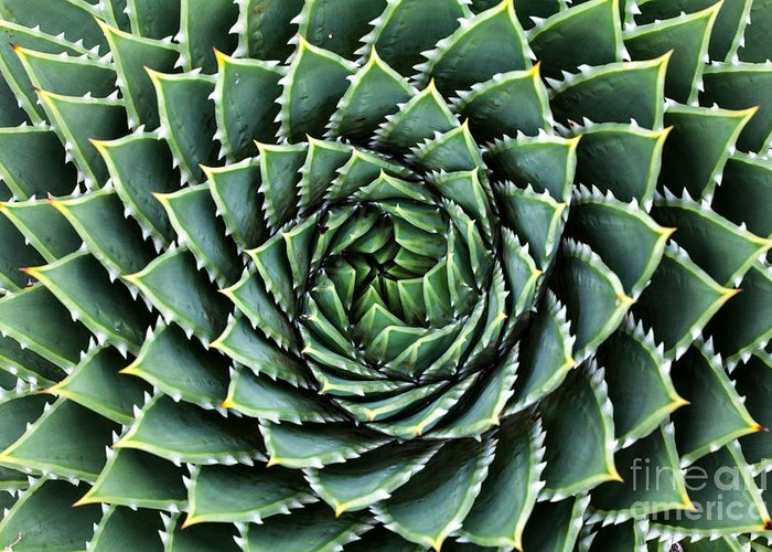 Botanicus Greeting Card featuring the photograph Spiral Aloe-aloe Polyphylla by Gil.k