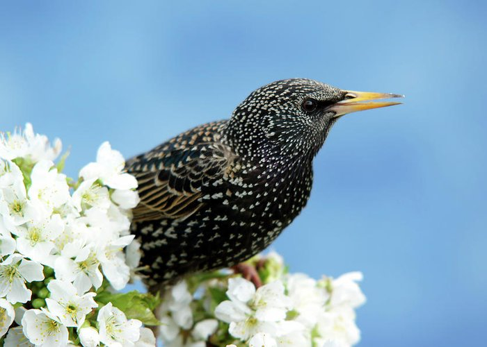 Songbird Greeting Card featuring the photograph Star In Springtime by Schnuddel