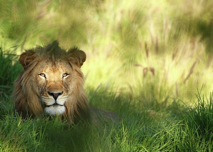 Tropical Rainforest Greeting Card featuring the photograph Staring Lion In Field Of Grass With by Jimkruger