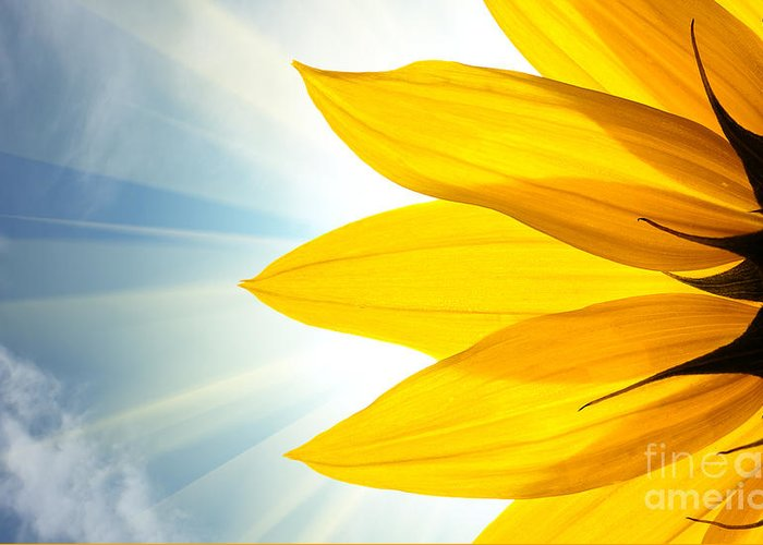 Big Greeting Card featuring the photograph Sunflower Detail Isolated On White by Logoboom