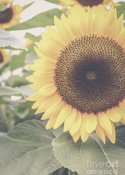 Sunflower Greeting Card featuring the photograph Sunflower Haze by Colleen Kammerer