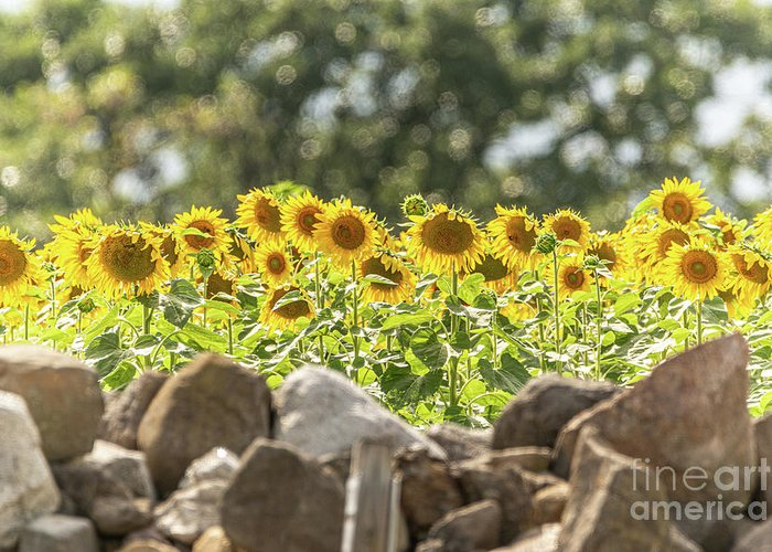 Sunflowers Greeting Card featuring the photograph Sunflowers Basking In Bokeh by Amfmgirl Photography