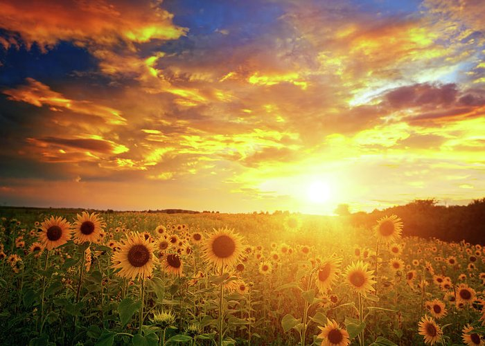 Scenics Greeting Card featuring the photograph Sunflowers Field And Sunset Sky by Avalon studio