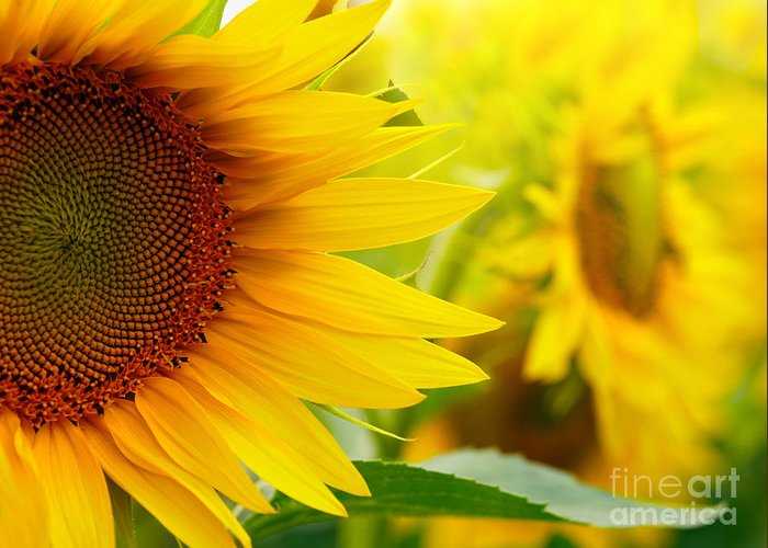 Pollen Greeting Card featuring the photograph Sunflowers by Sj Travel Photo And Video
