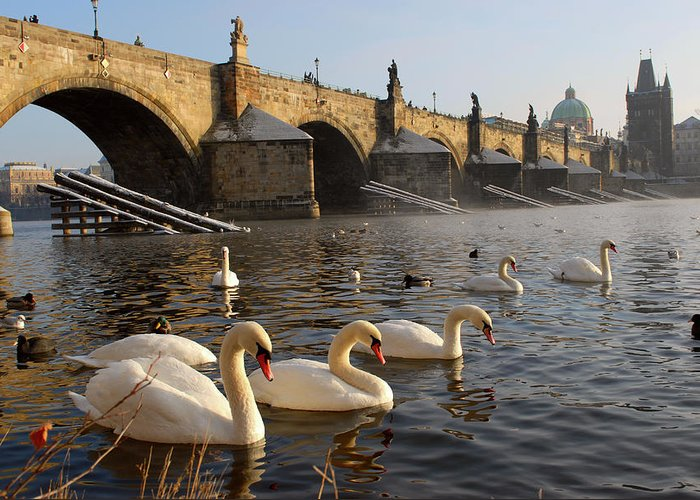 Arch Greeting Card featuring the photograph Swans And Charles Bridge by Dibrova