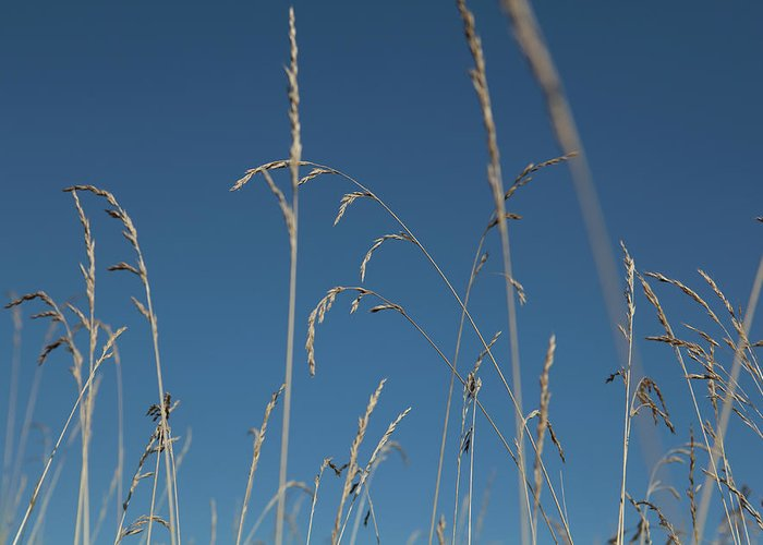 Tranquility Greeting Card featuring the photograph Tall Grasses Swaying Against A Blue Sky by Lauren Krohn