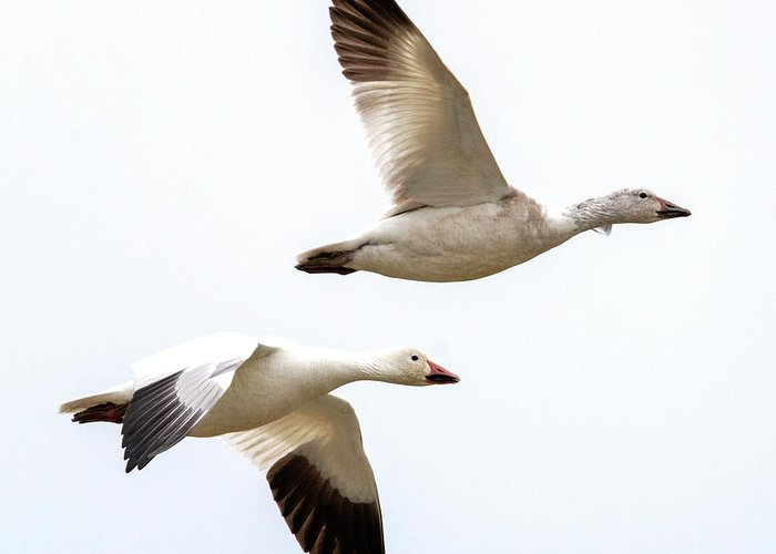 Snow Geese Greeting Card featuring the photograph Tandem Flight by Mike Dawson