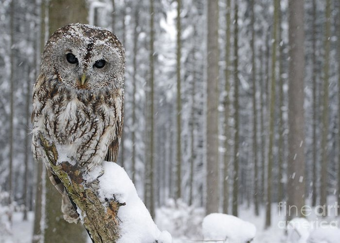 Magic Greeting Card featuring the photograph Tawny Owl In Snowfall During Winter by Ondrej Prosicky