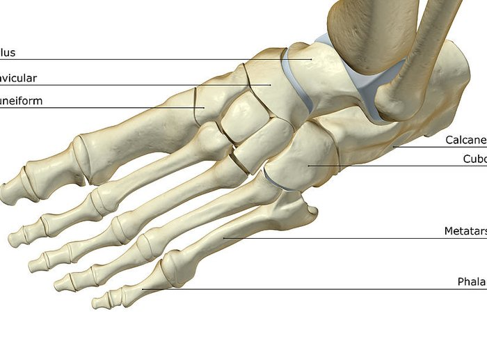 Phalanx Greeting Card featuring the digital art The Bones Of The Foot by Medicalrf.com