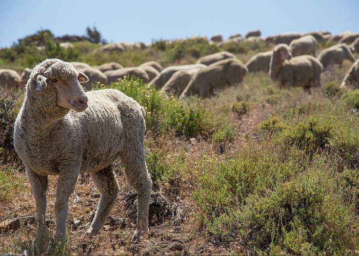 Sheep Greeting Card featuring the photograph The Flock by Fred DeSousa