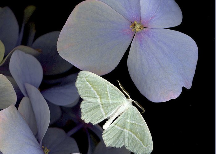 Greeting Card featuring the photograph The Night Moth by Sandi F Hutchins