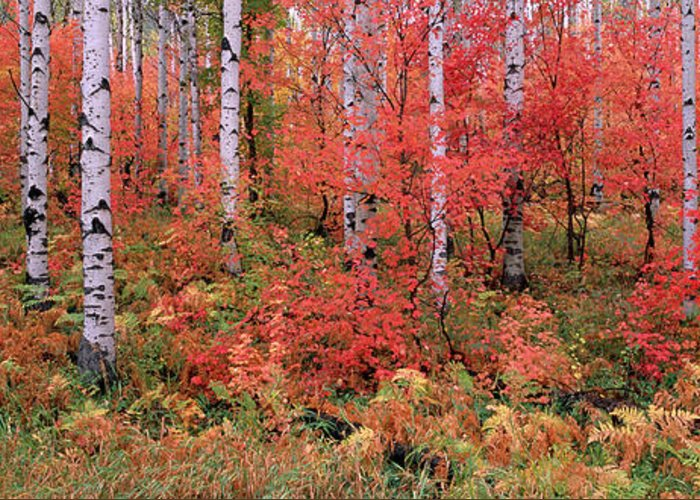 Panoramic Greeting Card featuring the photograph The Wasatch Mountain Forest Of Maple by Mint Images - David Schultz