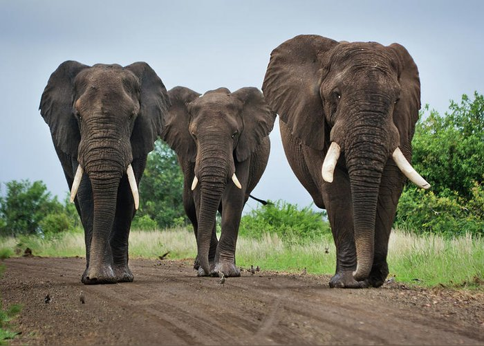 Toughness Greeting Card featuring the photograph Three Big Elephants On A Dirt Road by Johansjolander