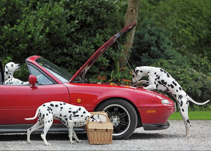 Pets Greeting Card featuring the photograph Three Dalmatians Around Red Sports Car by Peter Cade