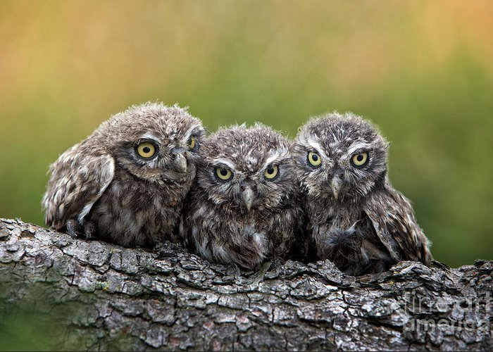 Bird Of Prey Greeting Card featuring the photograph Three Grimly Goblins by Michael Milfeit