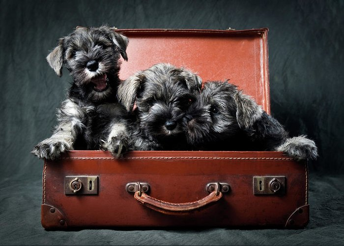 Pets Greeting Card featuring the photograph Three Miniature Schnauzer Puppies In by Steve Collins / Momofoto