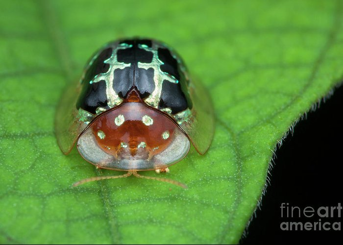 Designs Similar to Tortoise Beetle