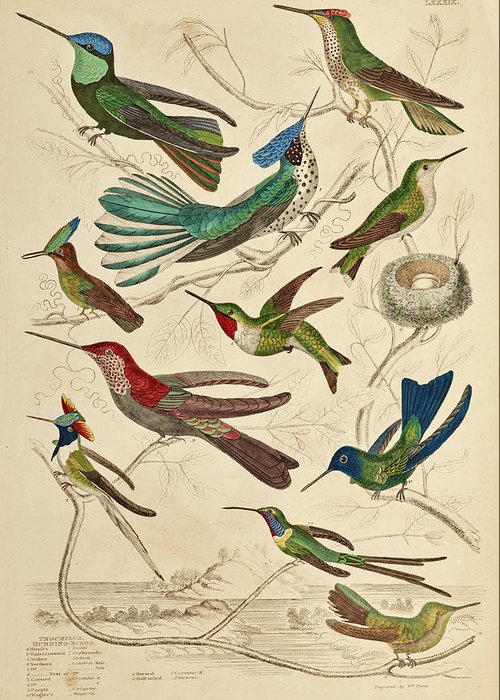 Trochilus Greeting Card featuring the painting Trochilus - Hummingbirds by William Davis