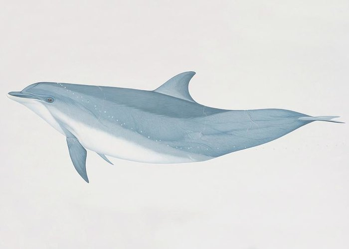 White Background Greeting Card featuring the digital art Tursiops Truncatus, Bottlenose Dolphin by Martin Camm
