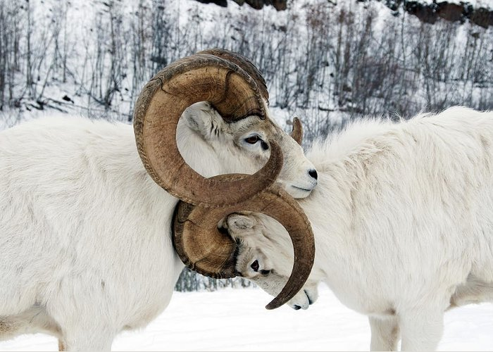 Snow Greeting Card featuring the photograph Two Affectionate Dall Sheep Ovis Dalli by Mark Newman