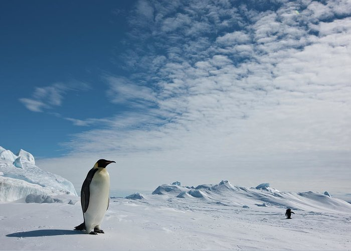 Emperor Penguin Greeting Card featuring the photograph Two Emperor Penguins by A Gandola