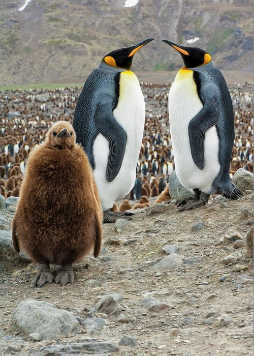Animals In The Wild Greeting Card featuring the photograph Two King Penguins And A Chick by Gabrielle Therin-weise