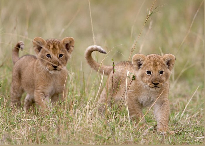 Kenya Greeting Card featuring the photograph Two Lion Panthera Leo Cubs Walking by Paul Souders