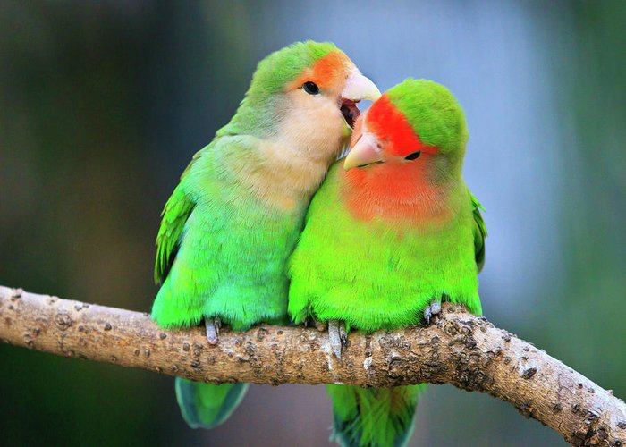 Togetherness Greeting Card featuring the photograph Two Peace-faced Lovebird by Feng Wei Photography