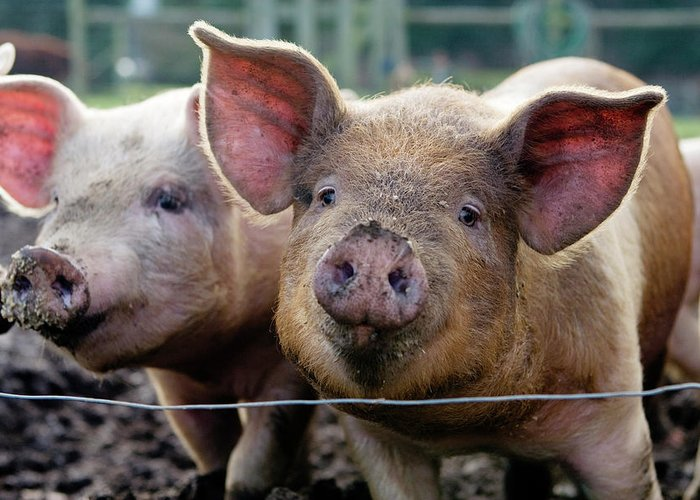 Pig Greeting Card featuring the photograph Two Pigs On Farm by Charity Burggraaf