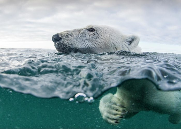 Paw Greeting Card featuring the photograph Underwater Polar Bear In Hudson Bay by Paul Souders