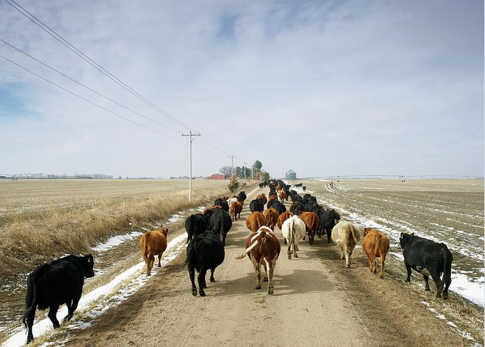 Cattle Drive Greeting Card featuring the photograph Usa, Nebraska, Great Plains, Herd Of by John Kelly
