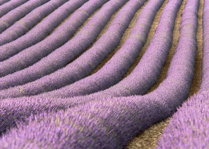 In A Row Greeting Card featuring the photograph View Of Cultivated Lavender Field by Michele Berti