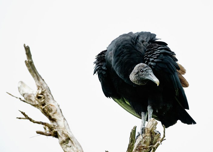 Animal Themes Greeting Card featuring the photograph Vulture Perched On Tree by Roine Magnusson