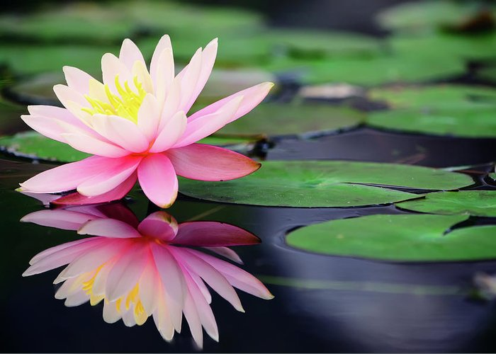 Taiwan Greeting Card featuring the photograph Water Lily In Lake by Anakin Tseng