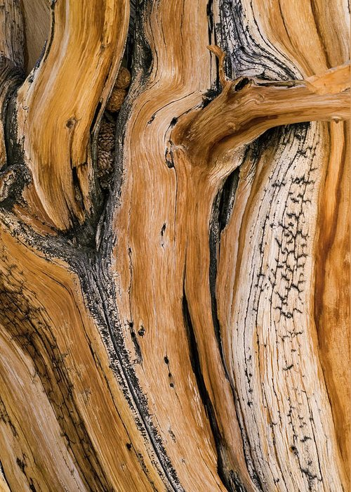 Weathered Greeting Card featuring the photograph Weathered Wood Of Ancient Bristlecone by Kevin Schafer