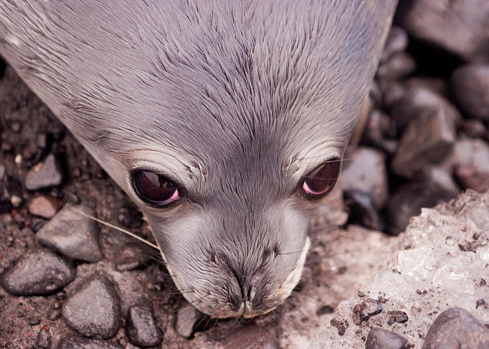 Animal Themes Greeting Card featuring the photograph Weddell Seal Pup, Antarctica by Mint Images/ Art Wolfe