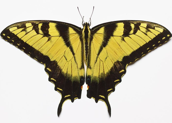 White Background Greeting Card featuring the photograph Western Tiger Swallowtail Butterfly by Don Farrall