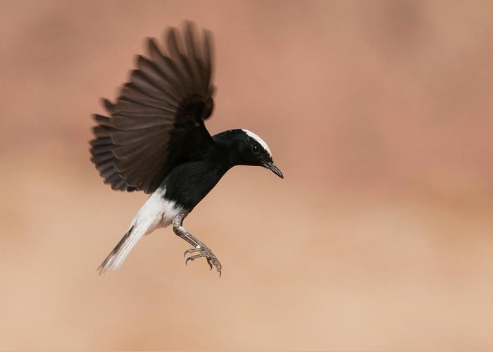 Eilat Greeting Card featuring the photograph White Crowned Wheatear by Dorit Bar-zakay