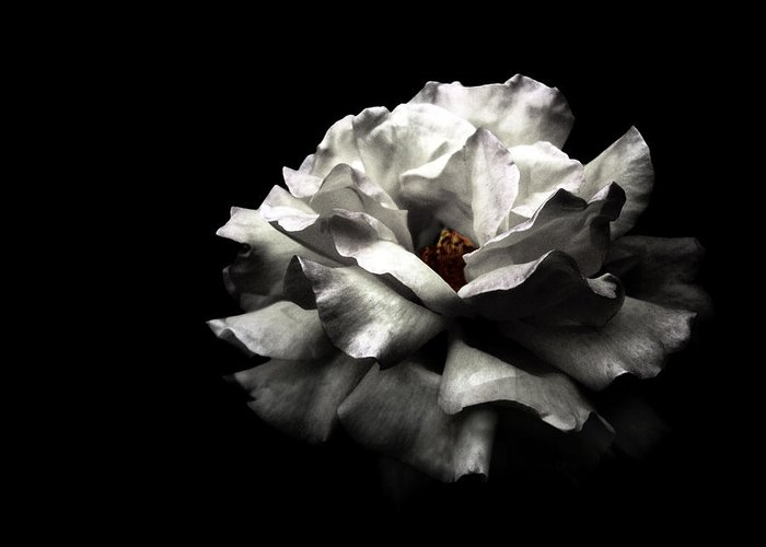 Black Background Greeting Card featuring the photograph White Rose by Lola L. Falantes