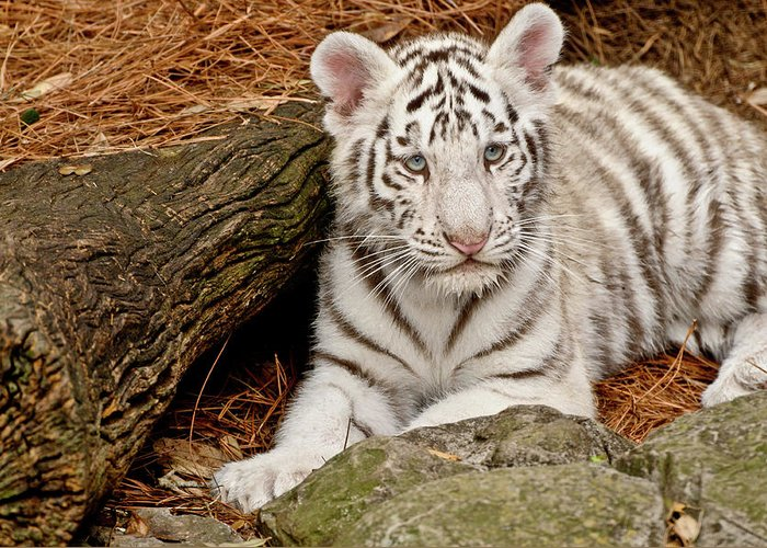 White Tiger Greeting Card featuring the photograph White Tiger Cub by Empphotography