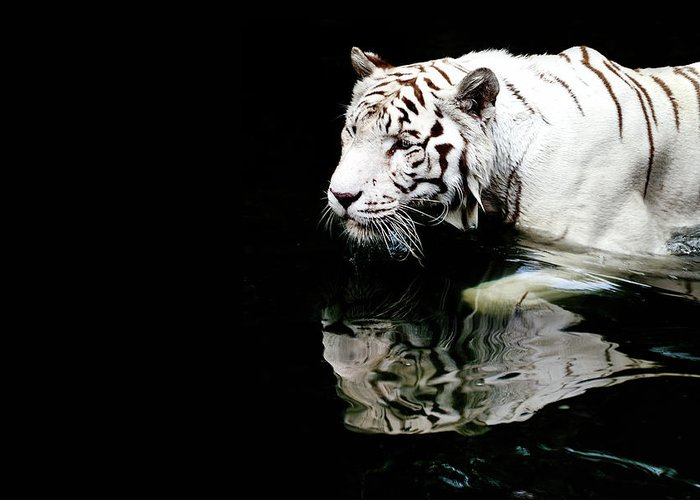 Three Quarter Length Greeting Card featuring the photograph White Tiger In Water by Carlina Teteris