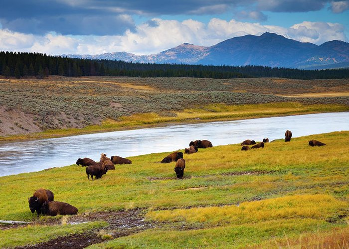 Scenics Greeting Card featuring the photograph Wild Bison Roam Free Beneath Mountains by Jamesbrey