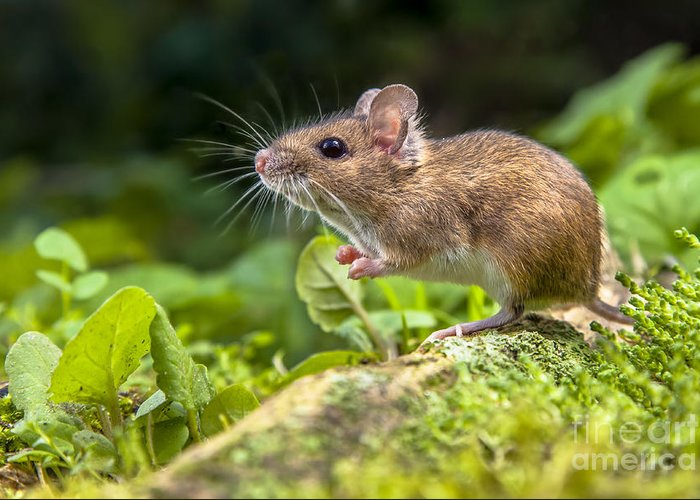German Greeting Card featuring the photograph Wild Wood Mouse Resting On The Root Of by Rudmer Zwerver