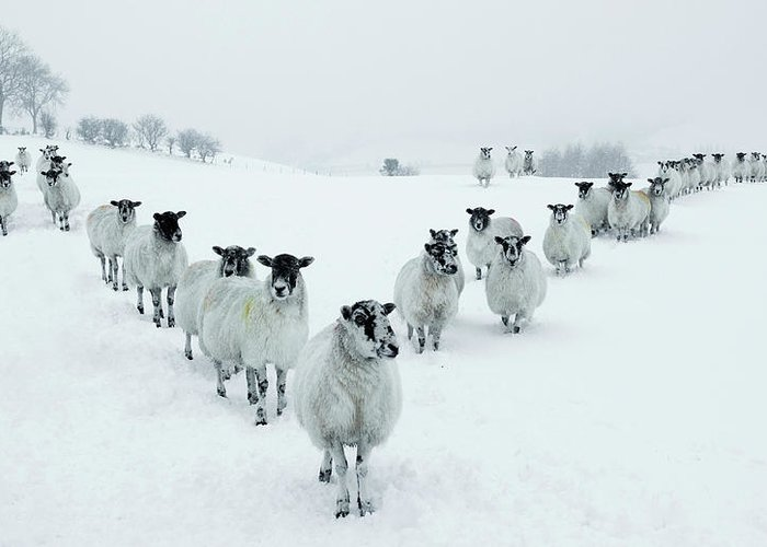 Cool Attitude Greeting Card featuring the photograph Winter Sheep V Formation by Motorider