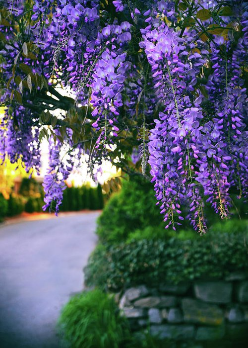 Wisteria Greeting Card featuring the photograph Wisteria At Sunset by Jessica Jenney