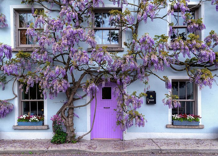 Wisteria Tree House Inistioge Ireland Photograph By Fergal Gleeson