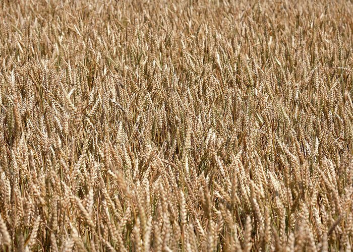 Field Greeting Card featuring the photograph Wonderful Wheat by Todd Klassy