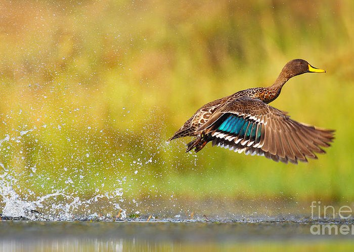 Feather Greeting Card featuring the photograph Yellow-billed Duck Taking Off From by Jmx Images